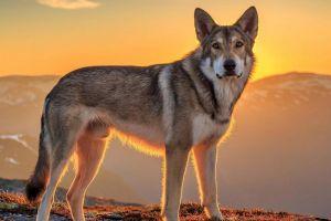 wolf sunlight animals