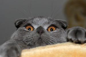 yellow eyes animals cats
