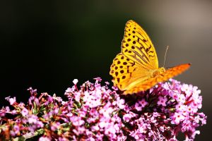 yellow flowers butterfly