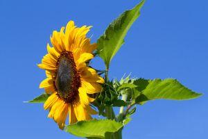 yellow flowers flowers sunflowers nature