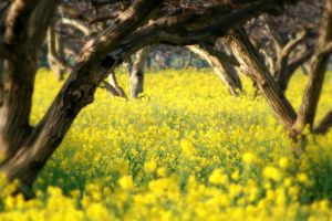 yellow flowers nature trees landscape