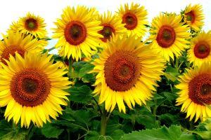 yellow flowers sunflowers nature plants