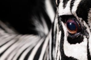 zebras animals macro